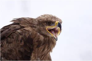 2010-129 Steppe Eagle Portrait by W0LLE
