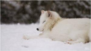 2010-131 Arctic Fox