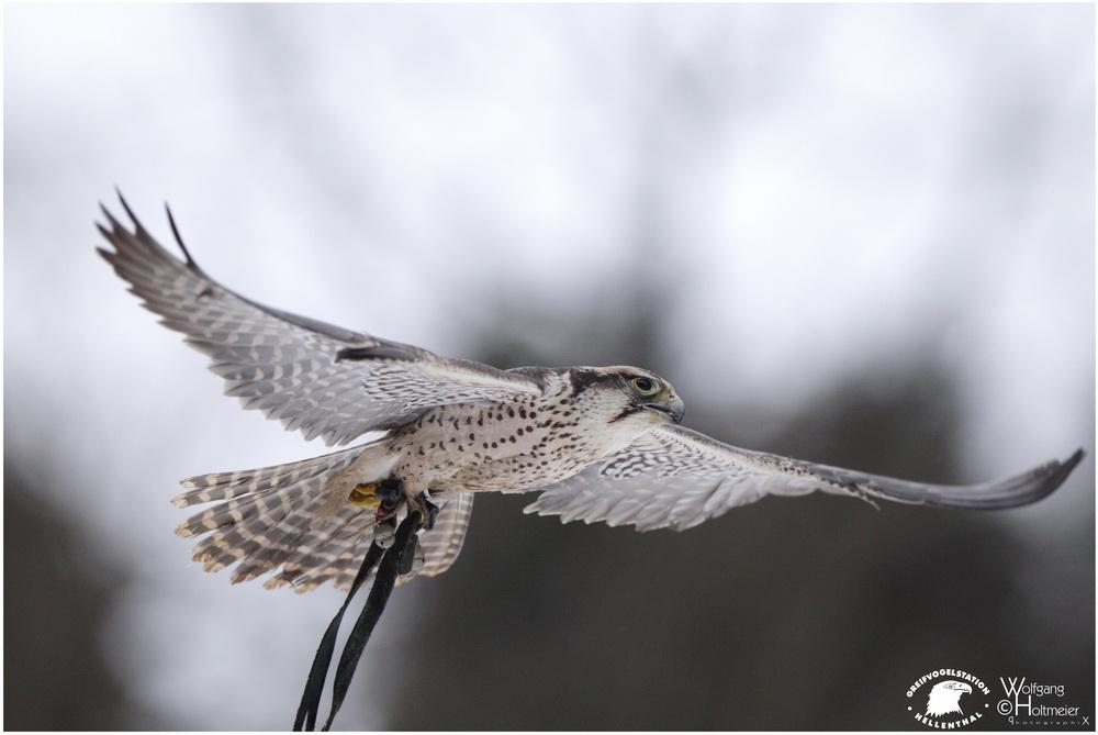 2011-80 Lanner Falcon by W0LLE