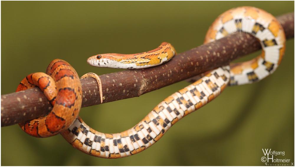 2012-46 Corn Snake by W0LLE