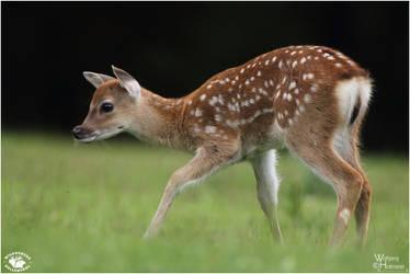 2012-55 Little Deer by W0LLE