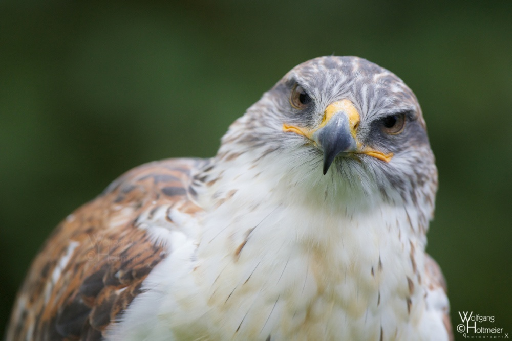 2012-119 Buteo Regalis by W0LLE