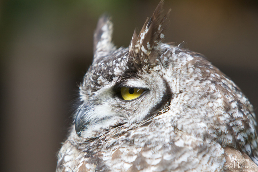 2012-128 Spotted Eagle-Owl by W0LLE