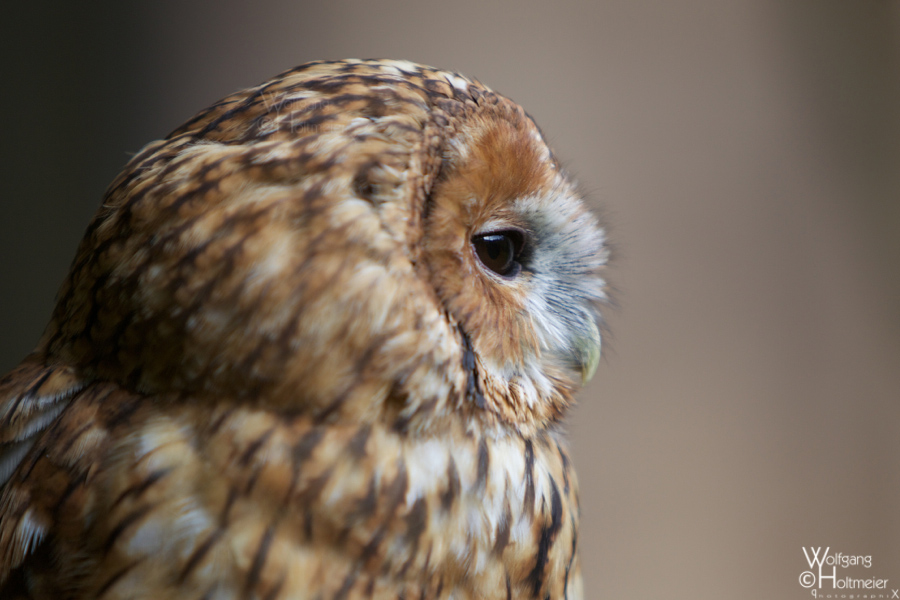 2012-132 Tawny Owl by W0LLE