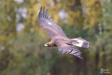 2012-133 Golden Eagle by W0LLE
