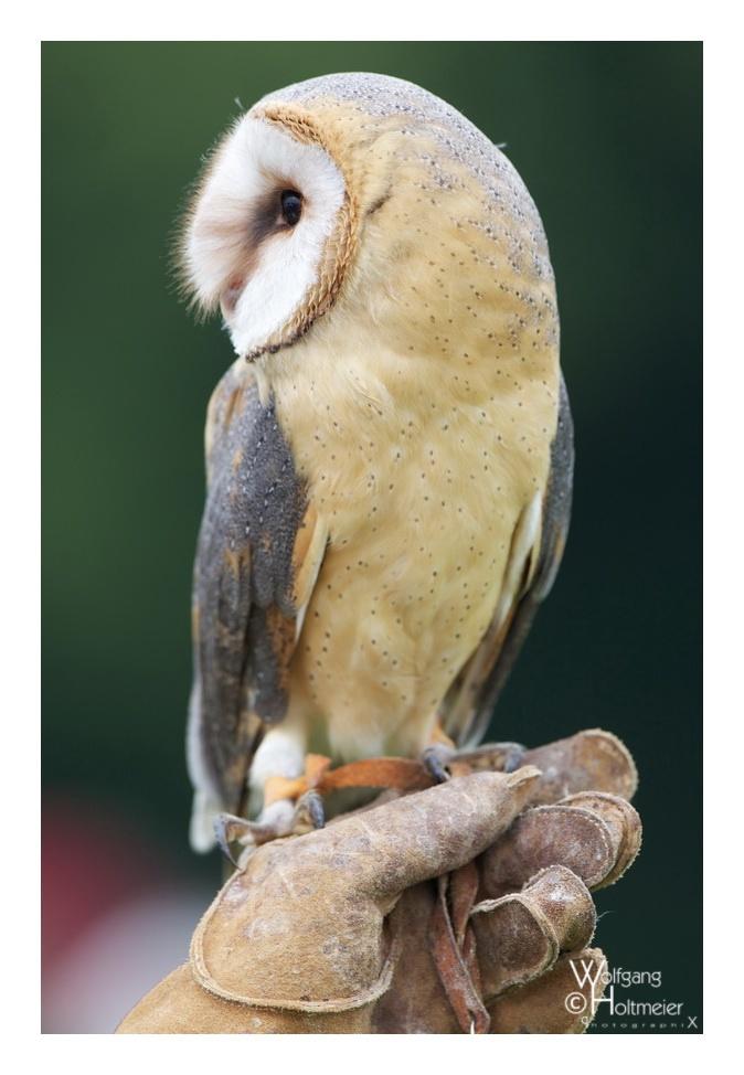2013-15 Barn Owl by W0LLE