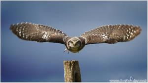 2014-33 Northern Hawk Owl