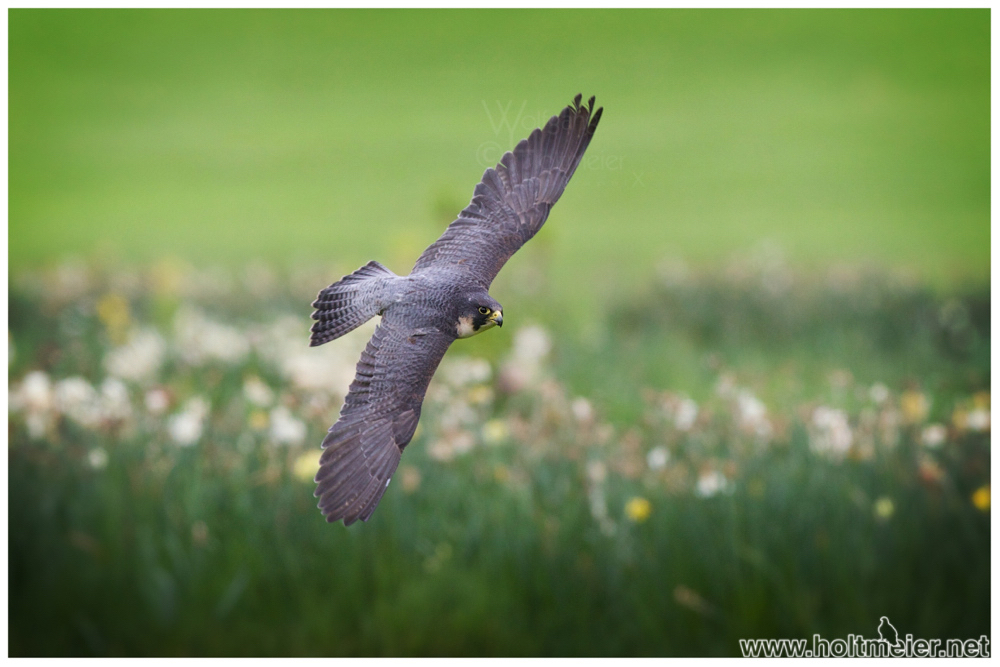 2014 - 37 Peregrine Falcon by W0LLE