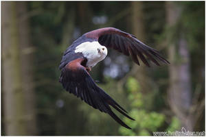 2016-21 African Fish Eagle