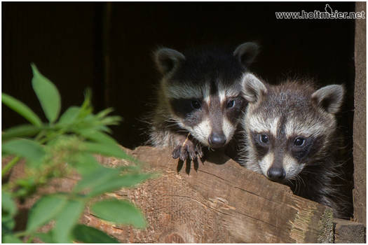 2016 - 46 Racoons