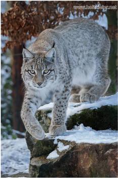 2017 - 4 Lynx