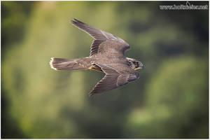 2018 - 03 Saker Falcon by W0LLE