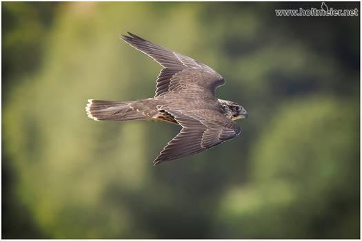 2018 - 03 Saker Falcon