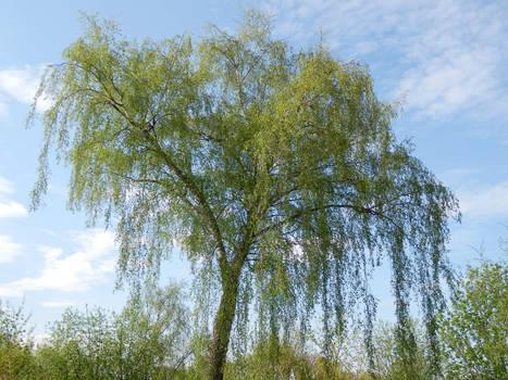 Springtime Birch