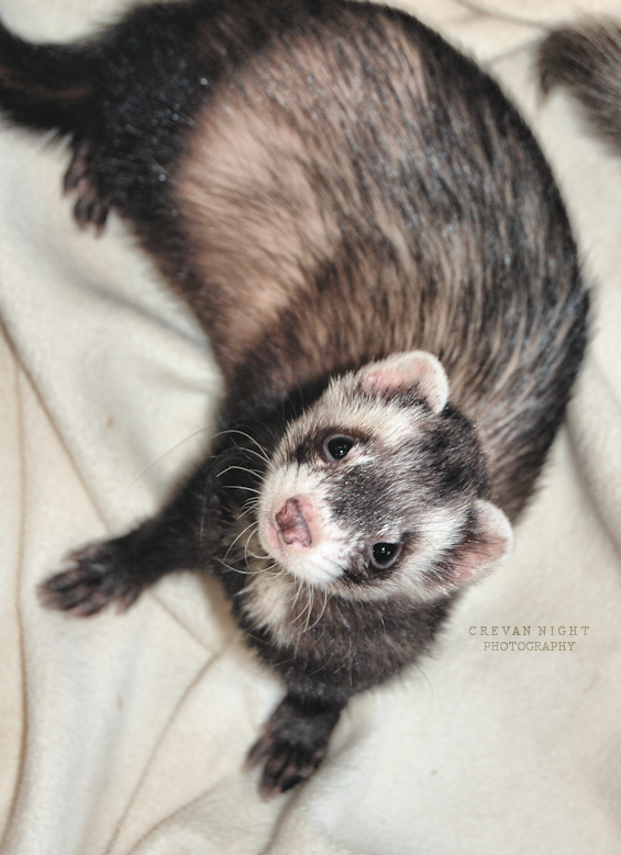 ferret face wallpaper background - photo #49