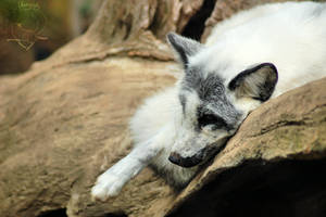 Arctic Fox by Jaded-Night