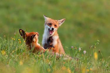 Fox fight by JMrocek