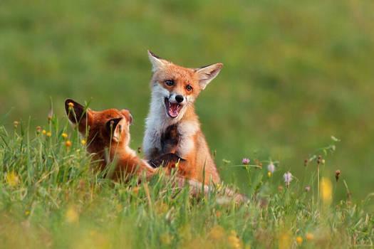 Fox fight