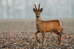 Roe deer by JMrocek