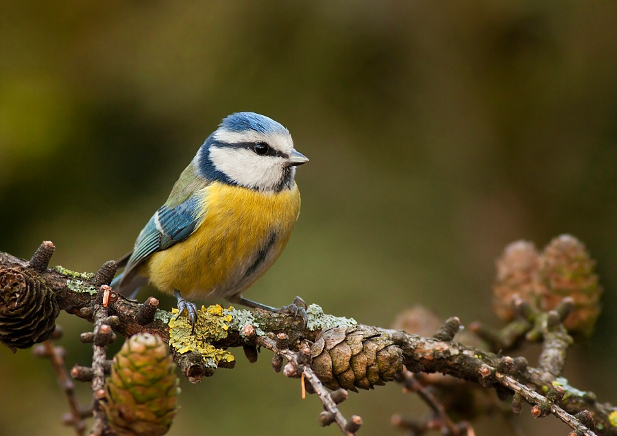 Blue tit by JMrocek