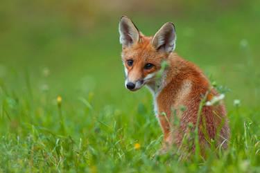 Fox by JMrocek