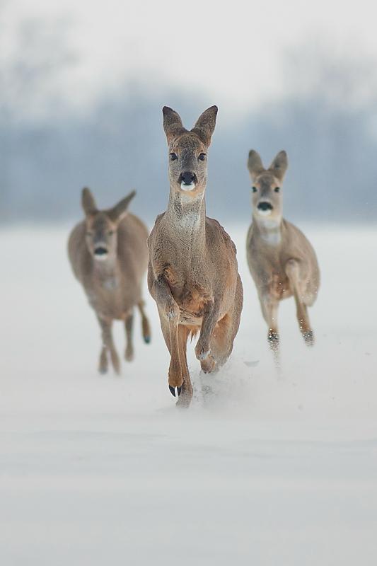 Running roes by JMrocek