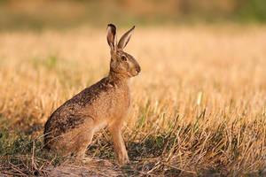 Brown hare by JMrocek