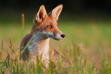 Evening fox