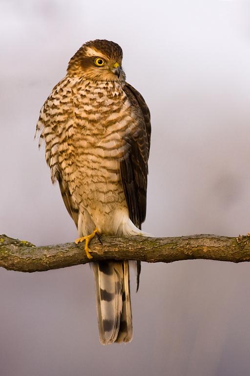 Sparrowhawk by JMrocek