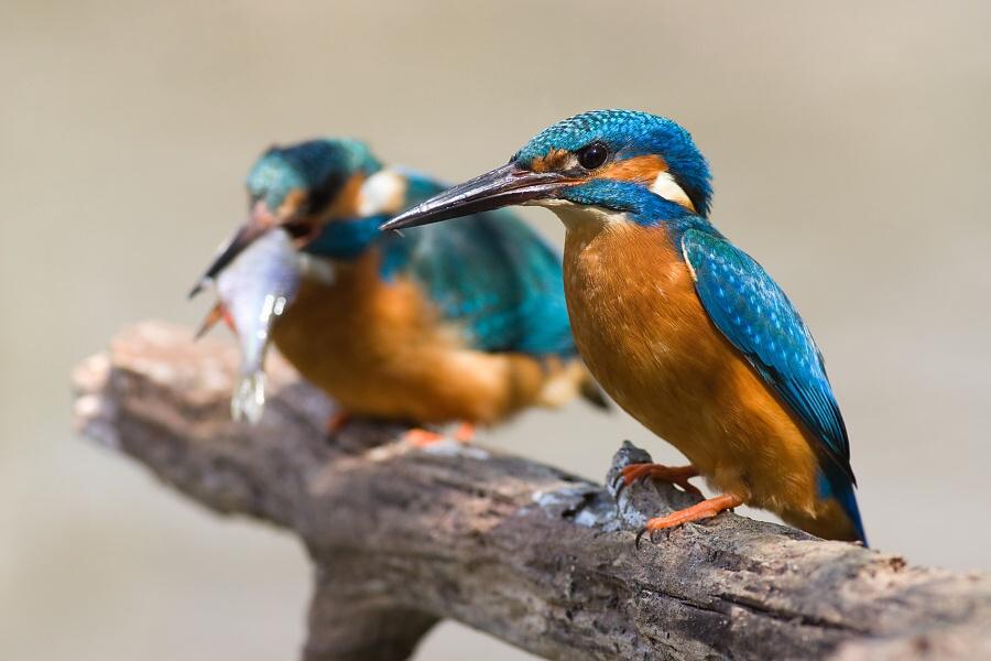 Kingfishers by JMrocek