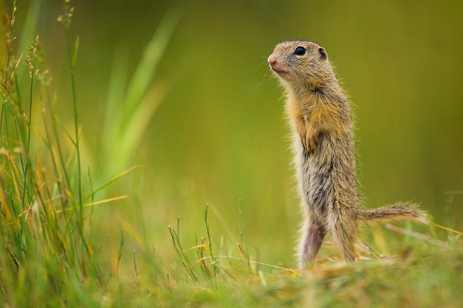European ground squirrel by JMrocek