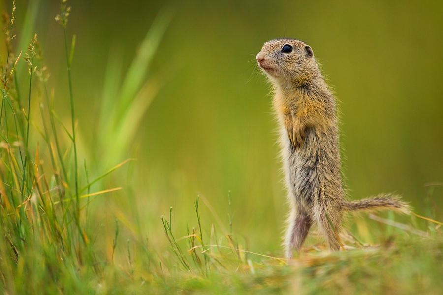 European ground squirrel by JMrocek