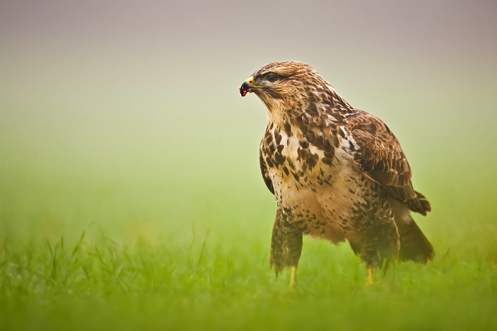 Buzzard by JMrocek