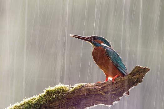 Kingfisher in the rain
