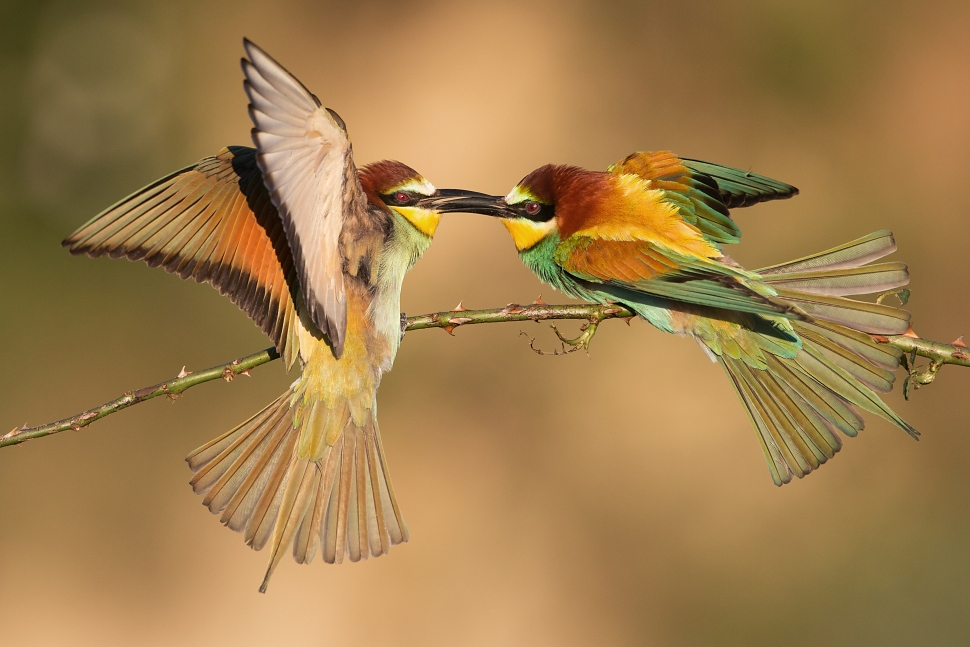 Bee-eater fight by JMrocek