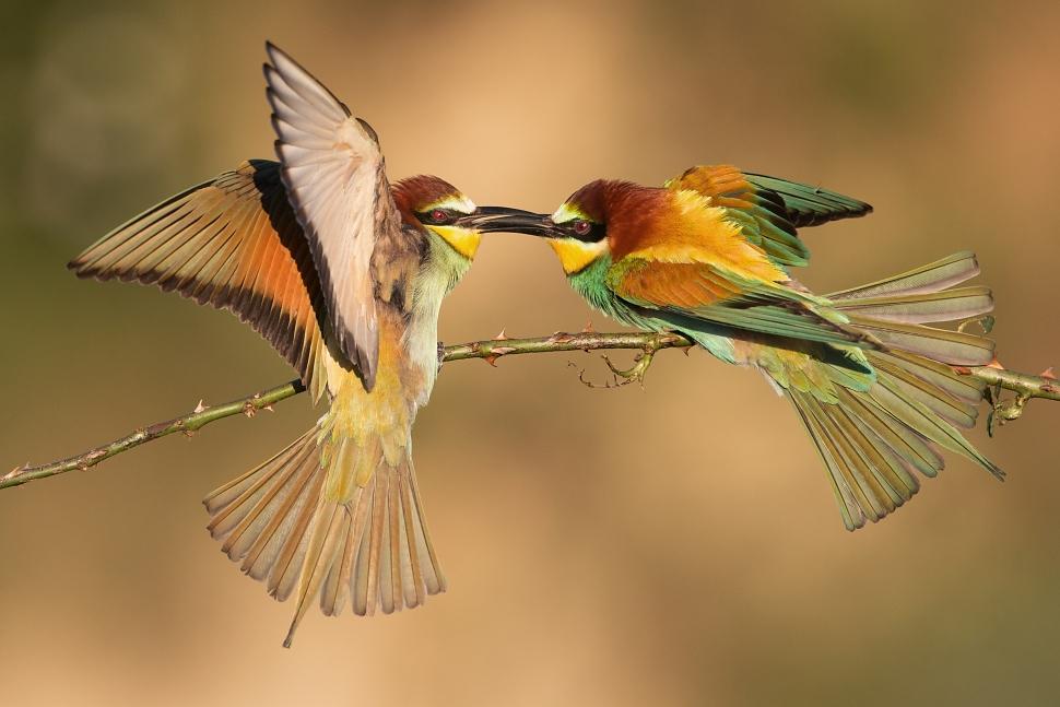 Bee-eater fight by JMrocek