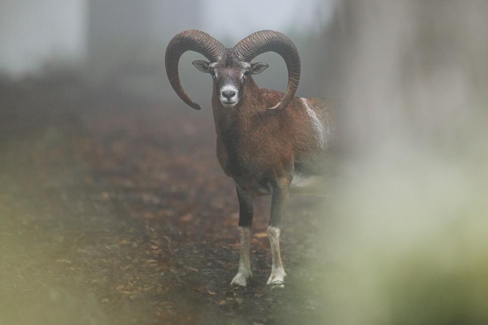 Mouflon by JMrocek