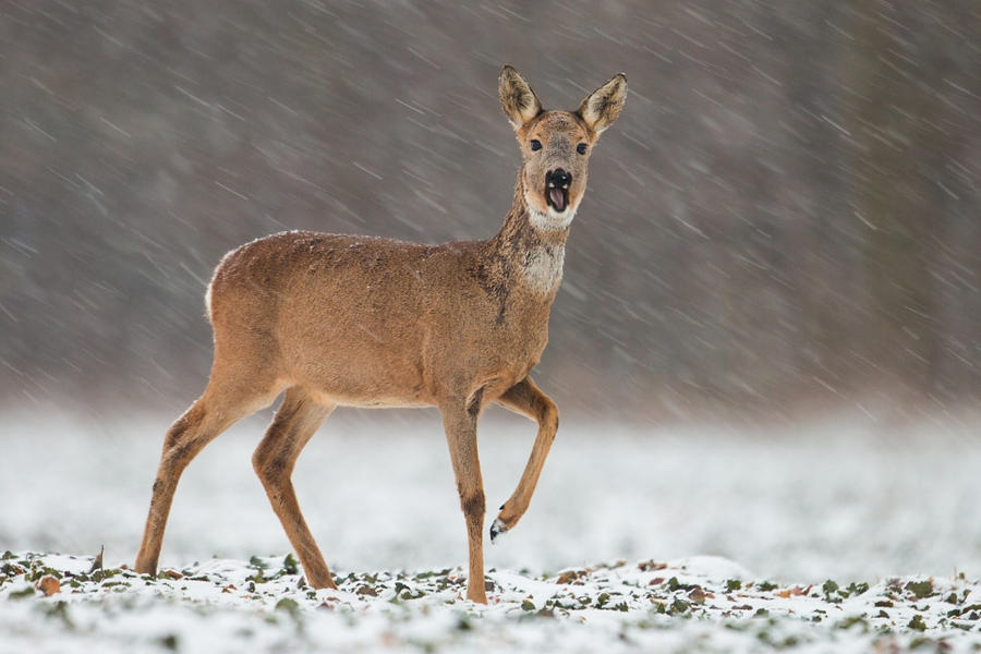 Snowy by JMrocek