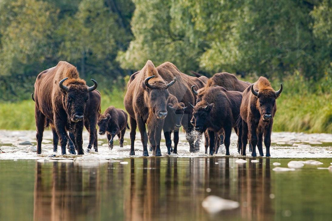 European bison (Bison bonasus) by JMrocek