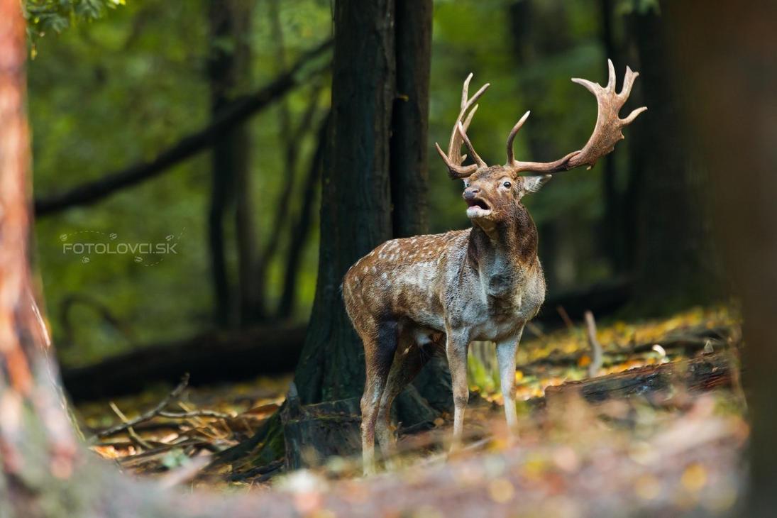 Fallow deer rut by JMrocek
