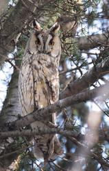 Long-eared Owl 2 by Alex-dan