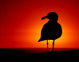 Seagull at Sunset by robgbob