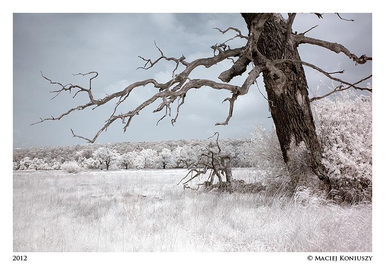 Oak in IR by Maciej-Koniuszy