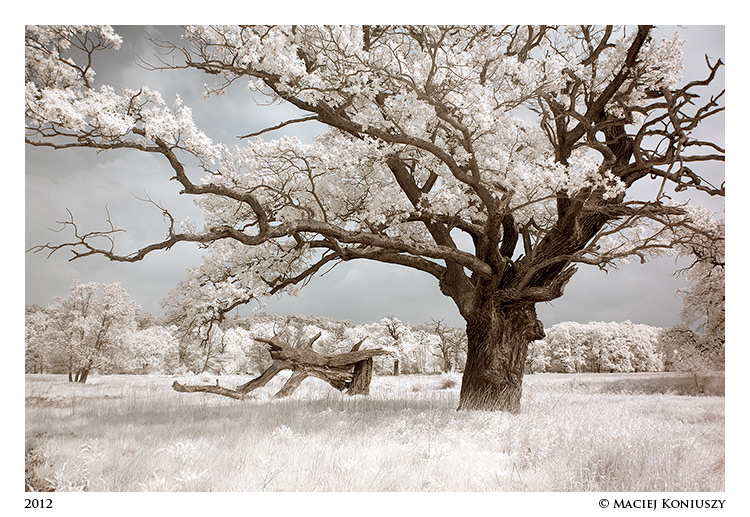 Oak by Maciej-Koniuszy