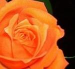 Orange_Rose II