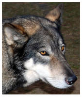 A Wolf Named Baby by time-warrior
