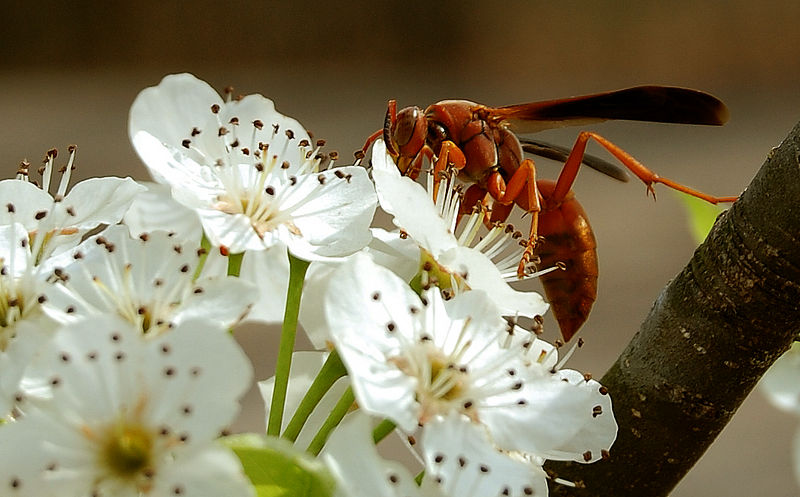Red Wasp ... Lunchtime