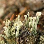 Cladonia fimbriata Lichens