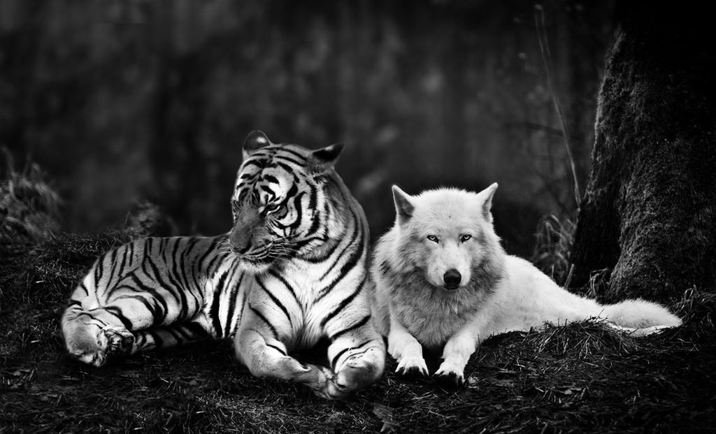 волк и тигр фото