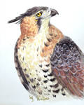 Spizaetus ornatus